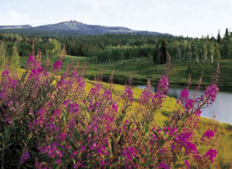 Fireweed photograph by James D. Steinberg